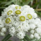 White Pearly Everlasting Anaphalis margaritacea - 100 seeds