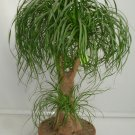 Ponytail Palm Beaucarnea recurvata - 15 Seeds