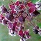 Rare Heart-Leaf Purple Milkweed Asclepias cordifolia - 10 Seeds