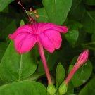 Stunning Marvel of Peru Mirabilis jalapa - 25 Seeds