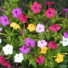 Stunning Marvel of Peru Mirabilis jalapa - 25 Seeds