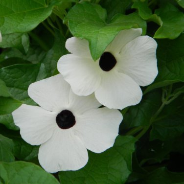 Snow White Black Eyed Susan Vine Thunbergia alata 'Alba'- 10 Seeds