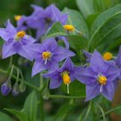 Rare Chilean Potato Vine 'Glasnevin' Solanum crispum – 10 Seeds