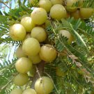 Rare Amla Indian Gooseberry Nelli Phyllanthus emblica Emblica officinalis  - 10 Seeds