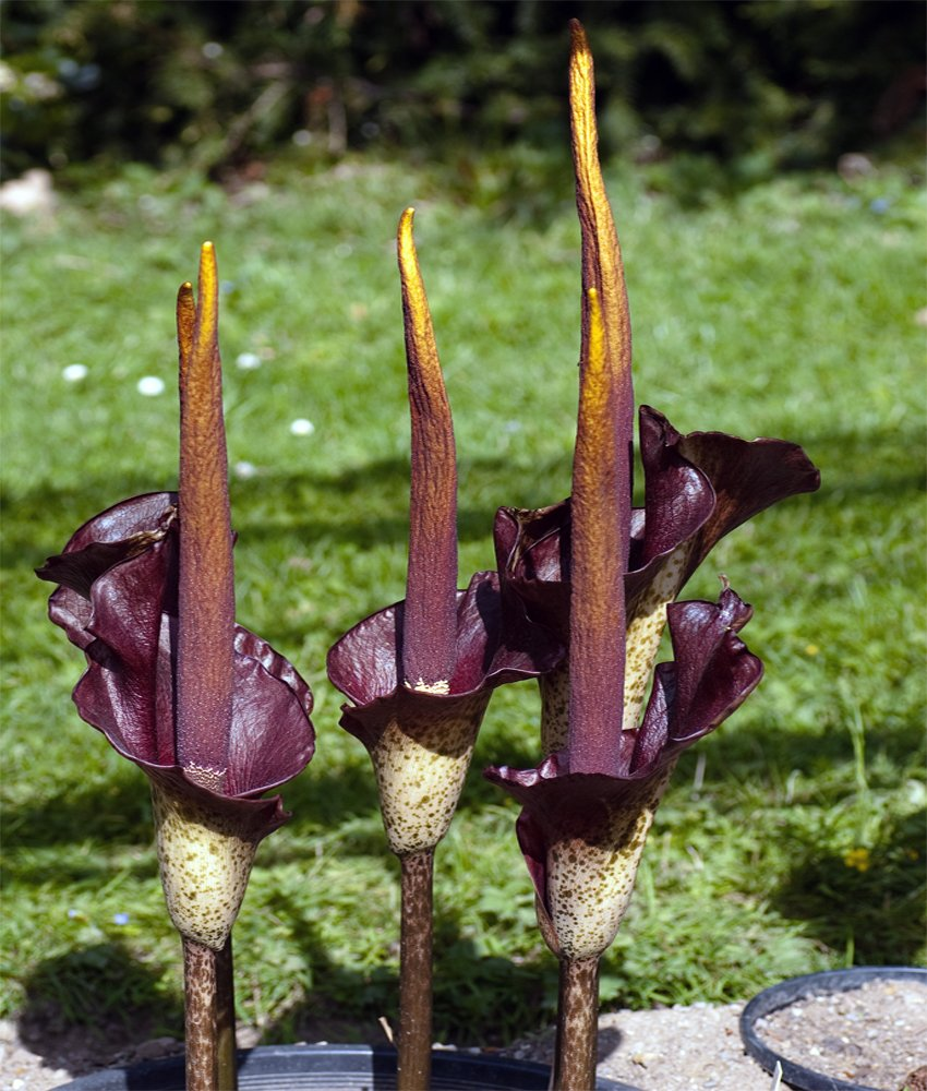 aroid devil 39 s tongue voodoo lily amorphophallus rivieri. Black Bedroom Furniture Sets. Home Design Ideas