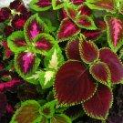 Colorful Coleus Mix Solenostemon scutellarioides - 100 Seeds