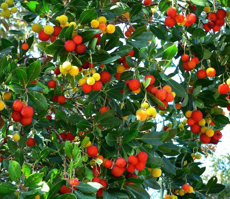 madrone killarney strawberry tree arbutus unedo   seeds, Beautiful flower