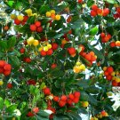 Madrone Killarney Strawberry Tree Arbutus Unedo - 20 Seeds
