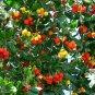 Madrone Killarney Strawberry Tree Arbutus Unedo - 20 Seeds