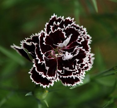 Carnation Dianthus 'Black And White Minstrel' Dianthus Chinensis Heddewigii - 25 Seeds