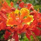 Red Pride of Barbados Peacock Caesalpinia pulcherrima - 10 Seeds