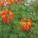 Red Pride of Barbados Peacock Caesalpinia pulcherrima - 8 Seeds
