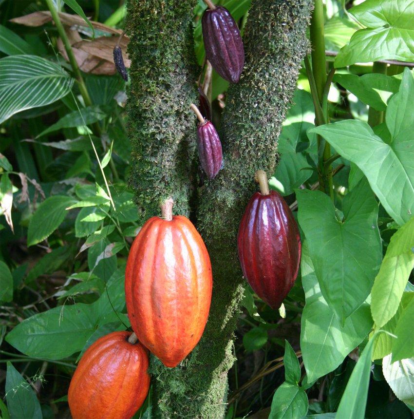 Chocolate Cocoa Plant Theobroma Cacao
