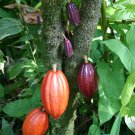Chocolate Cocoa Plant Theobroma cacao - 8 Fresh Moist Seeds