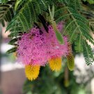 Princess Earrings Sickle Bush Dichrostachys cinerea - 5 Seeds
