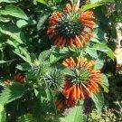 Klip Dagga Lion's Tail Leonotis nepetifolia - 20 Seeds