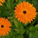 Orange Calendula Flowers Herb Organic Calendula officinalis -100 Seeds