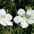 White Texas Star Swamp Hibiscus coccineus 'Alba'- 8 Seeds
