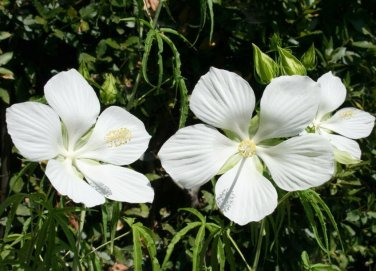White Texas Star Swamp Hibiscus coccineus 'Alba'- 8 Seeds