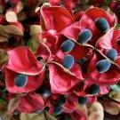 Rare Mgambo Black Pearl Tree Majidea Zanguebarica - 5 Seeds