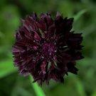 Cornflower Black Ball Centaurea cyanus - 50 Seeds