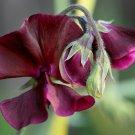 Fragrant English Sweet Pea Midnight Beaujolais Lathyrus odoratus - 20 Seeds