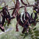 Carob Chocolate Tree Ceratonia siliqua - 15 Seeds