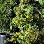 HOT! Peruvian Tree Chili Pepper Manzano Capsicum pubescens - 10 Seeds