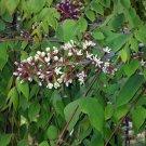 Kentucky Coffee Tree Gymnocladus dioicus – 8 Seeds