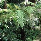 New Zealand Wheki Ponga Fern Tree Dicksonia fibrosa - 100 Seeds Spores
