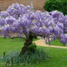 Chinese Wisteria Wisteria sinensis - 5 Seeds