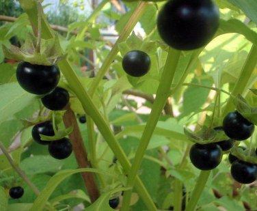 Rare Black Jaltomato Jaltomata procumbens - 10 Seeds