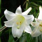Formosa Lily White Trumpet Lilium formosanum  - 20 Seeds