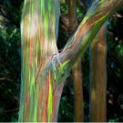 Mindanao Gum Rainbow Eucalyptus deglupta - 20 Seeds