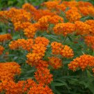 Red Butterfly Milkweed Asclepias tuberosa - 50 Seeds