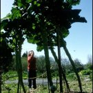 Rare Jersey Giant Walking Stick Kale Brassica oleracea longata - 20 Seeds