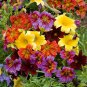 Stunning Painted Tongue Mix Salpiglossis grandiflora - 100 Seeds