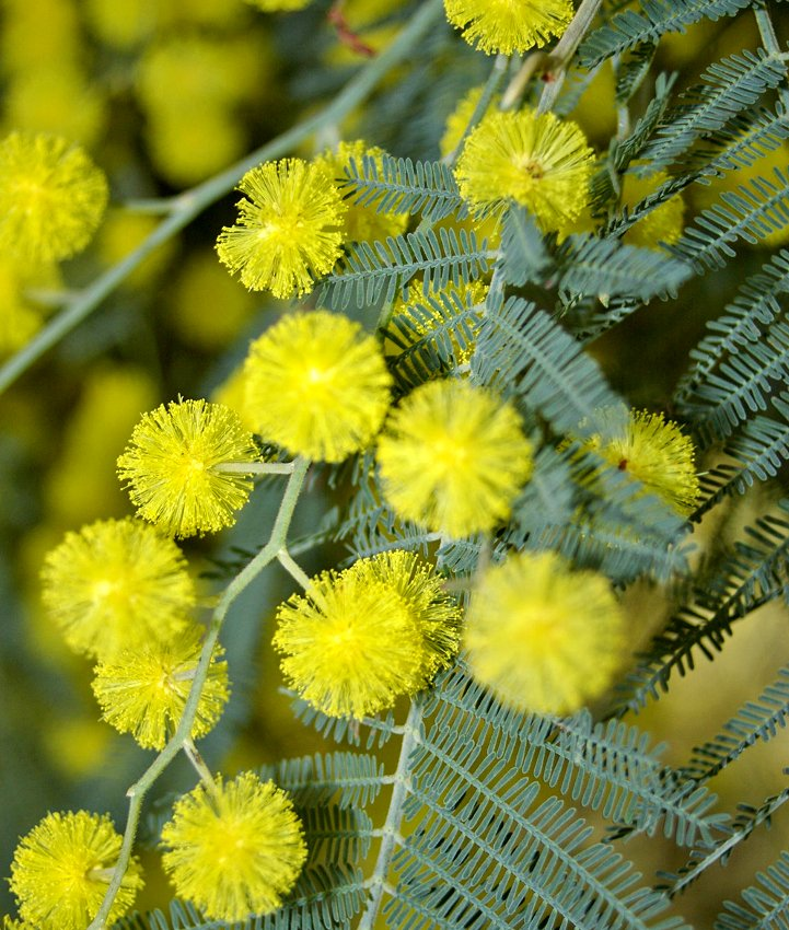 Bright Yellow Mimosa Silver Wattle Acacia dealbata - 15 Seeds