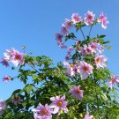 Rare and Unusual Giant Bell Tree Dahlia Imperialis - 5 Seeds