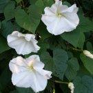 Alabaster White Moon Vine Ipomoea alba - 10 Seeds