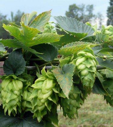 Organic Heirloom Hops Humulus lupulus - 20 Seeds