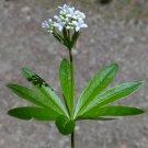 Organic Wild Waldmeister Sweet Woodruff Herb Asperula odorata - 20 Seed