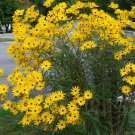 Unusual Tall Narrowleaf Swamp Sunflower Helianthus angustifolius - 100 Seeds