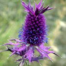 Rare Purple Leavenworth's Eryngo Eryngium leavenworthii - 20 Seeds