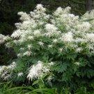 White Bride's Feathers Aruncus Dioicus  - 100 Seeds