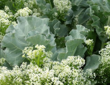 Rare Heirloom British Sea Kale Crambe maritima - 10 Seeds