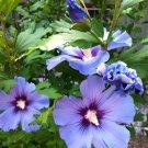 Blue Wheel Hibiscus Rose of Sharon Hibiscus syriacus - 15 Seeds