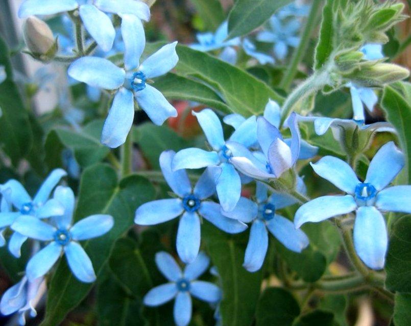 Rare Turquoise Blue Star Milkweed Vine Tweedia Oxypetalum caeruleum - 10 Seeds