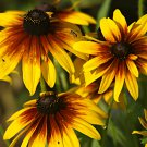 Sale! Large Gloriosa Daisy Rudbeckia gloriosa 2 for 1 - 75 Seeds