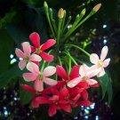 Chinese Honeysuckle Rangoon Creeper Fructus Quisqualis indica Combretum indicum tricolor - 10 Seeds